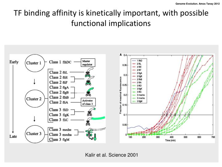TF binding affinity is kinetically important, with possible functional implications