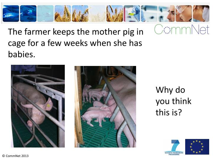 The farmer keeps the mother pig in cage for a few weeks when she has babies.