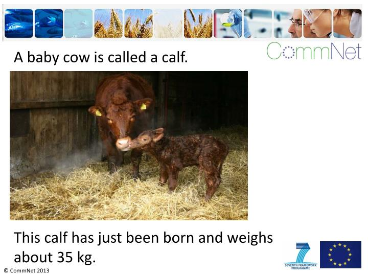 A baby cow is called a calf.