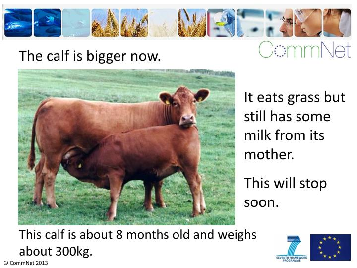 The calf is bigger now.