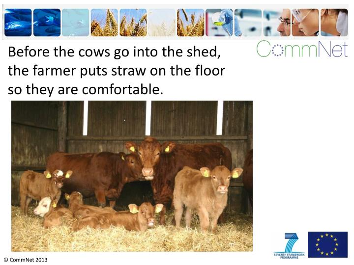 Before the cows go into the shed, the farmer puts straw on the floor so they are comfortable.