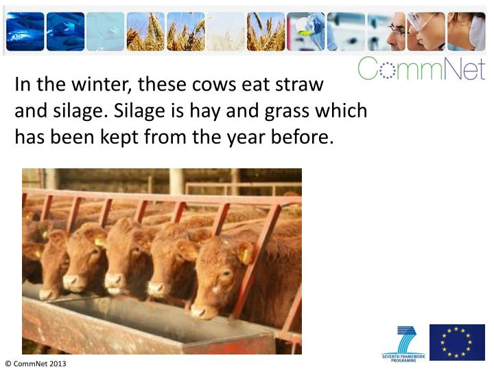 In the winter, these cows eat straw