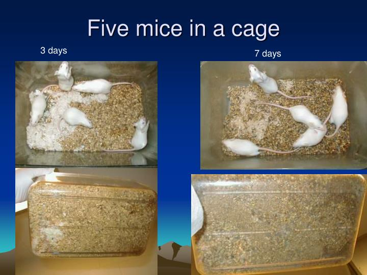 Five mice in a cage