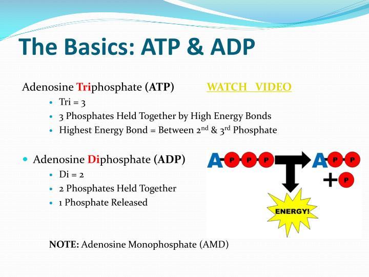 The Basics: ATP & ADP