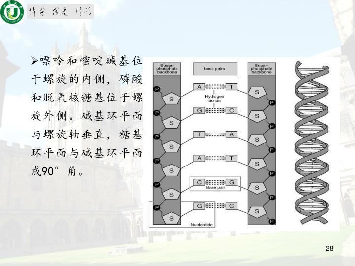 嘌呤和嘧啶碱基位于螺旋的内侧,磷酸和脱氧核糖基位于螺旋外侧。碱基环平面与螺旋轴垂直,糖基环平面与碱基环平面成