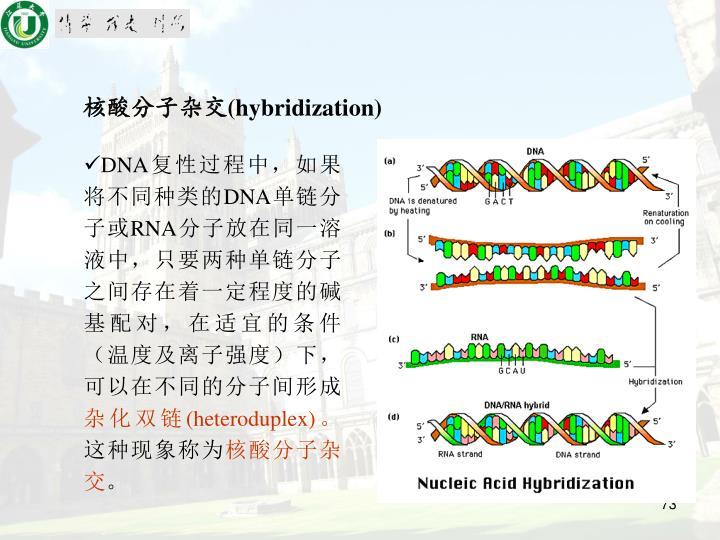 核酸分子杂交