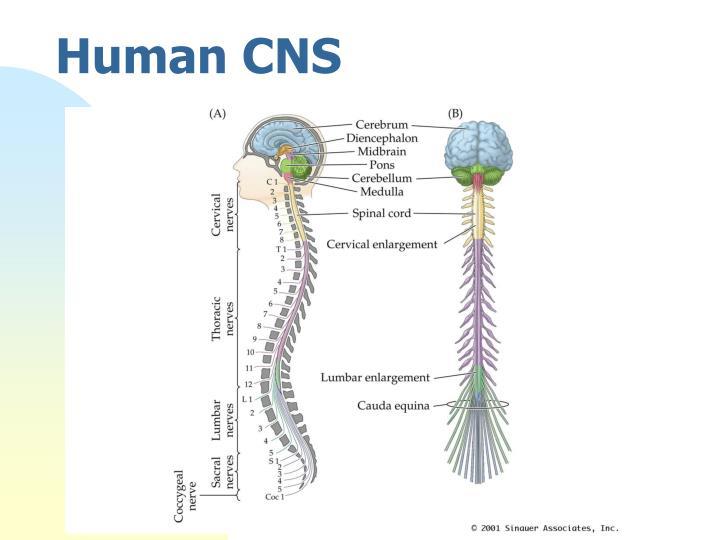 Human CNS