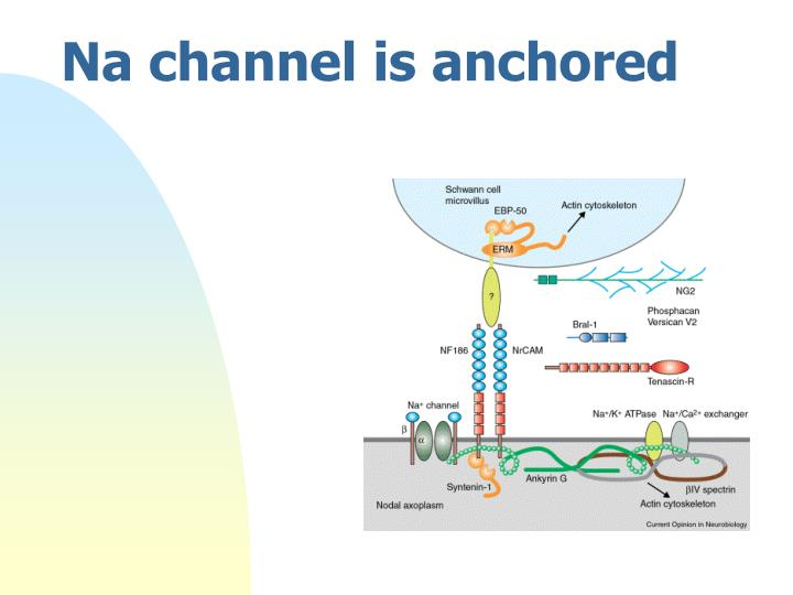 Na channel is anchored