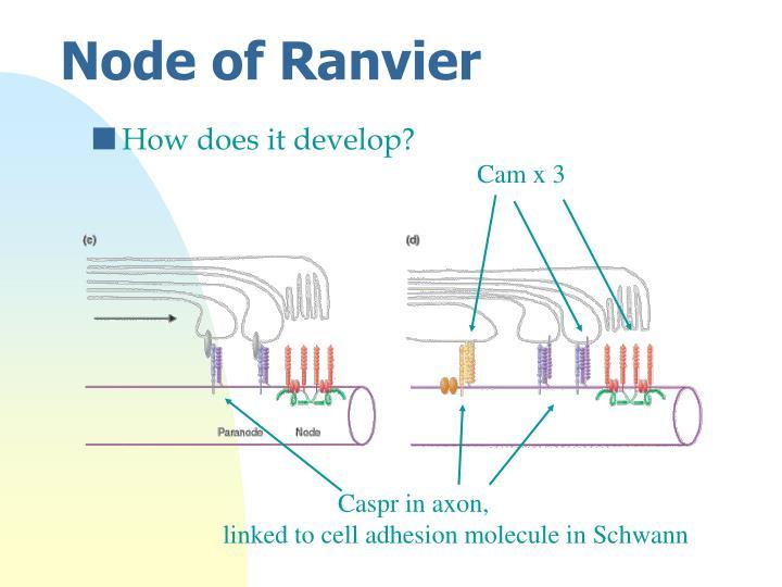 Node of Ranvier