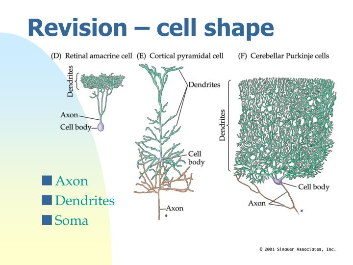 Revision – cell shape