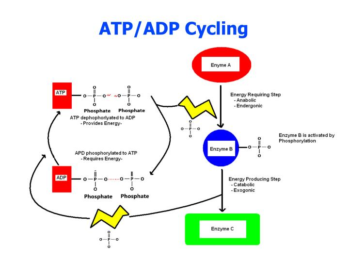 ATP/ADP Cycling