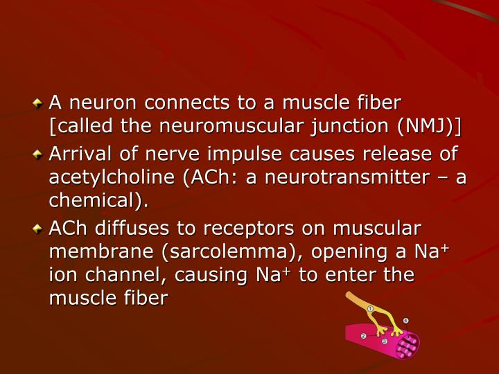 A neuron connects to a muscle fiber [called the neuromuscular junction (NMJ)]