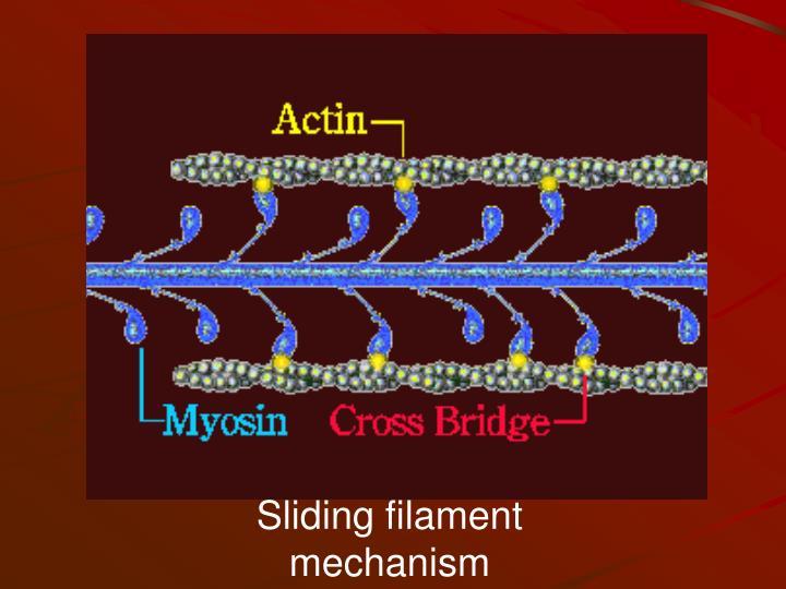 Sliding filament mechanism