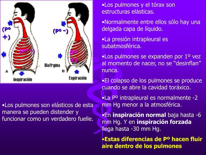 Los pulmones y el tórax son estructuras elásticas.