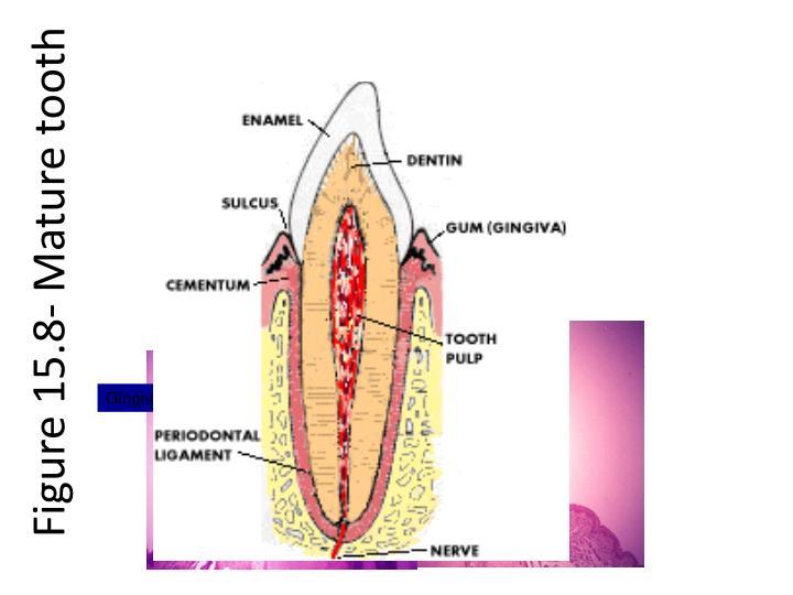 Figure 15.8- Mature tooth