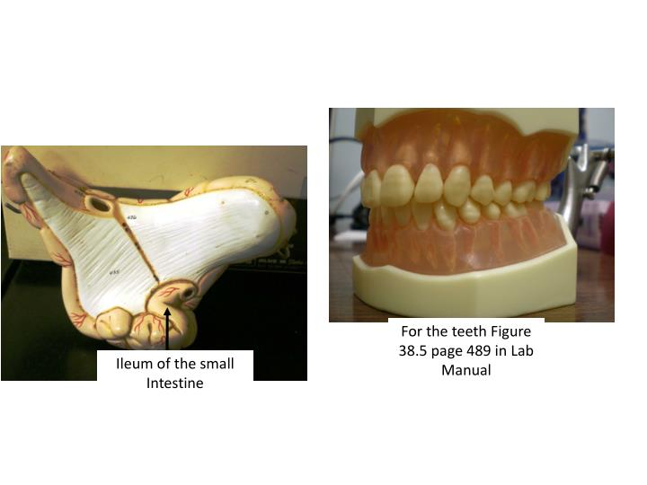 For the teeth Figure 38.5 page 489 in Lab Manual