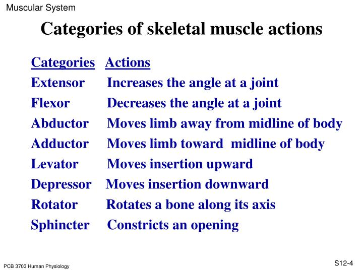 Categories of skeletal muscle actions