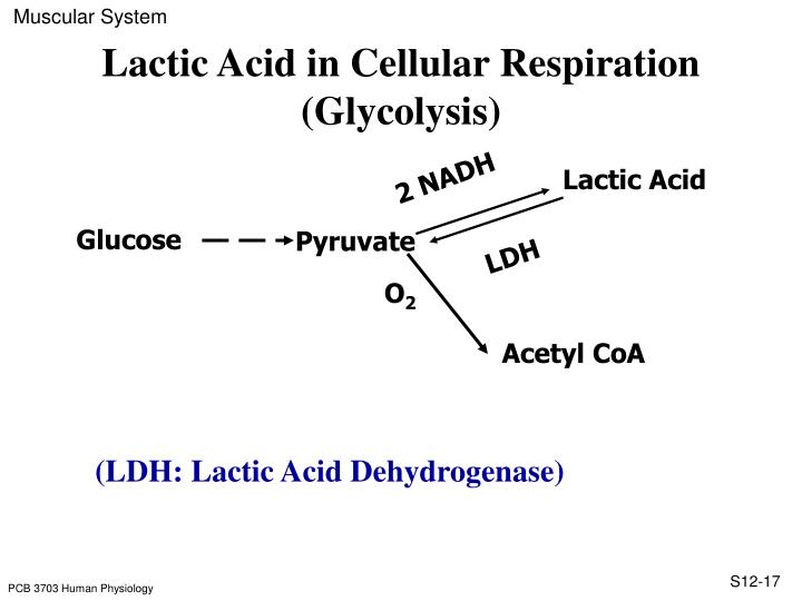 Lactic Acid in Cellular Respiration (Glycolysis)