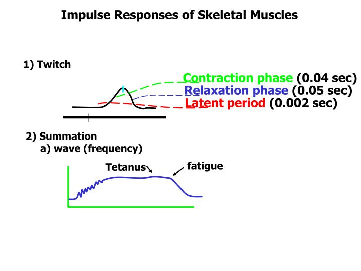 Impulse Responses of Skeletal Muscles