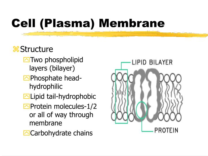 Cell (Plasma) Membrane