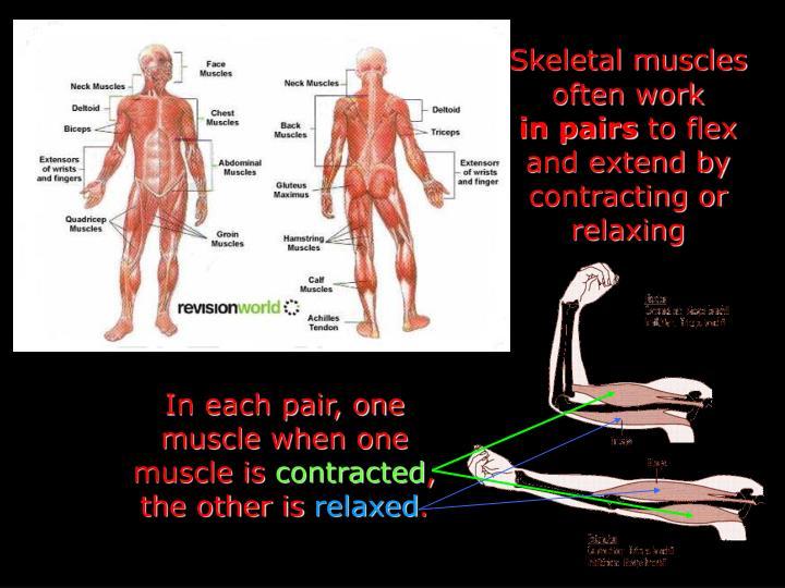 Skeletal muscles often work
