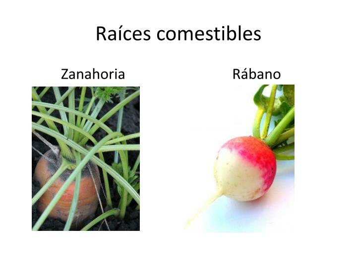 Raíces comestibles
