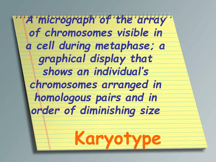 A micrograph of the array of chromosomes visible in a cell during metaphase; a graphical display that shows an individual's chromosomes arranged in homologous pairs and in order of diminishing size