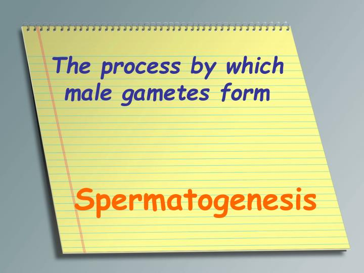 The process by which male gametes form