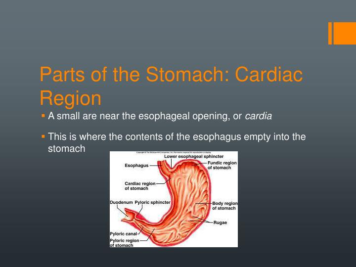Parts of the Stomach: Cardiac Region