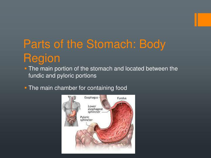 Parts of the Stomach: Body Region