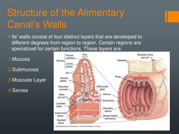 Structure of the Alimentary Canal's Walls