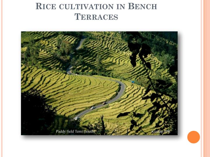 Rice cultivation in Bench Terraces
