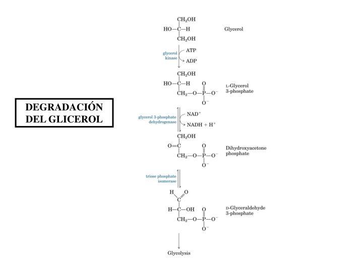 DEGRADACIÓN DEL GLICEROL