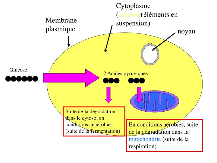 Cytoplasme (