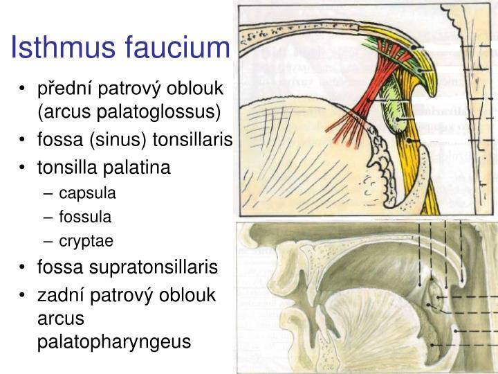 Isthmus faucium