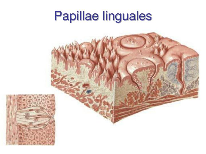 Papillae linguales