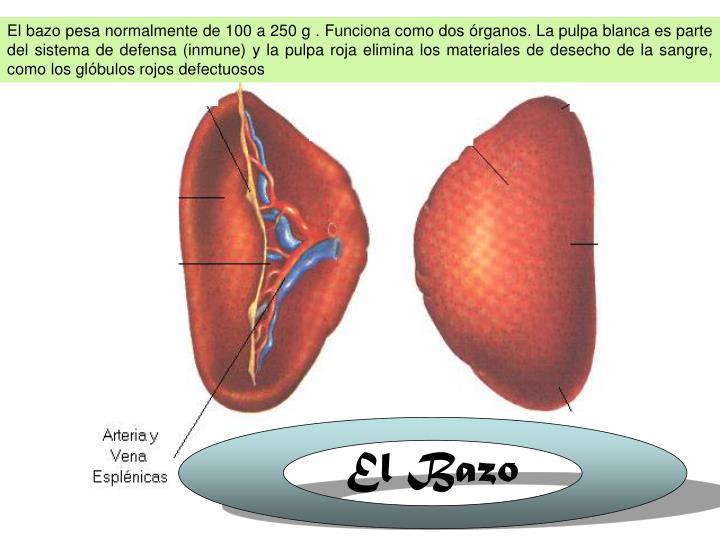El bazo pesa normalmente de 100 a 250 g . Funciona como dos órganos. La pulpa blanca es parte del sistema de defensa (inmune) y la pulpa roja elimina los materiales de desecho de la sangre, como los glóbulos rojos defectuosos