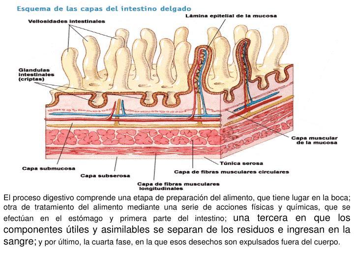 El proceso digestivo comprende una etapa de preparación del alimento, que tiene lugar en la boca; otra de tratamiento del alimento mediante una serie de acciones físicas y químicas, que se efectúan en el estómago y primera parte del intestino;