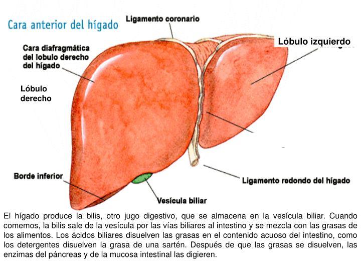 Lóbulo izquierdo