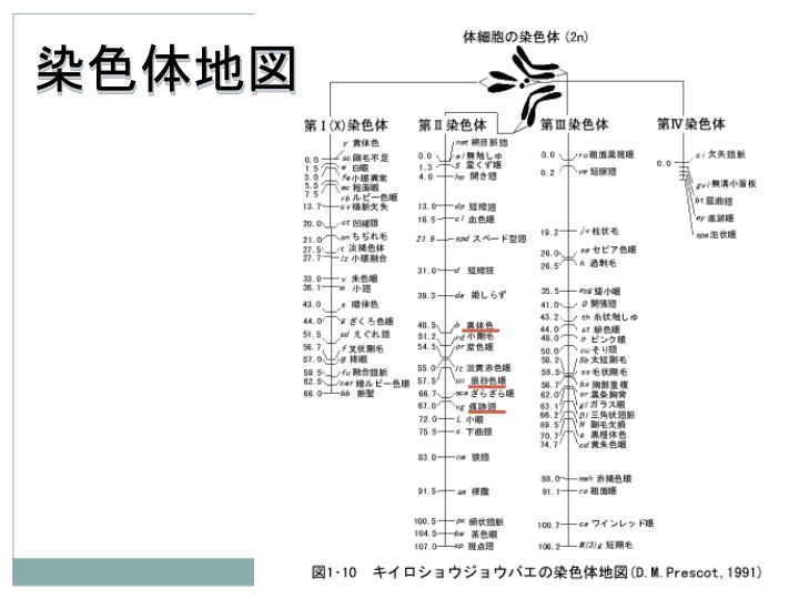 染色体地図