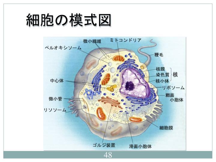 細胞の模式図