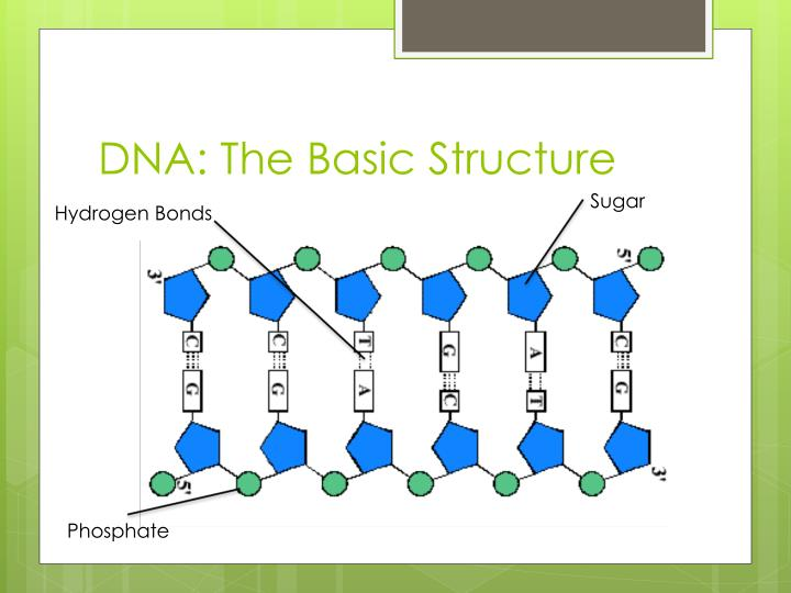 DNA: The Basic Structure