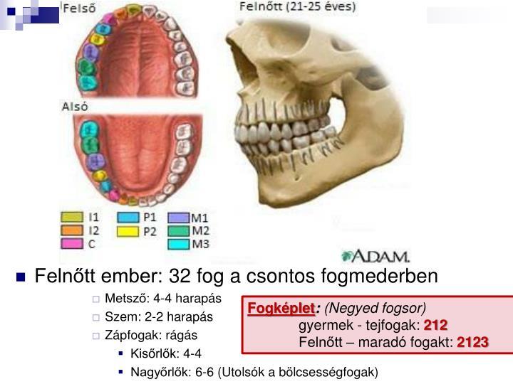 Felnőtt ember: 32 fog a csontos fogmederben