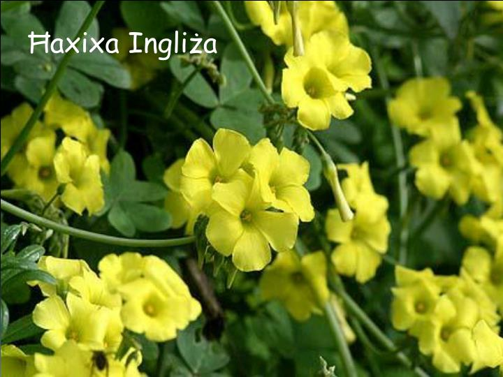 Ħaxixa Ingliża