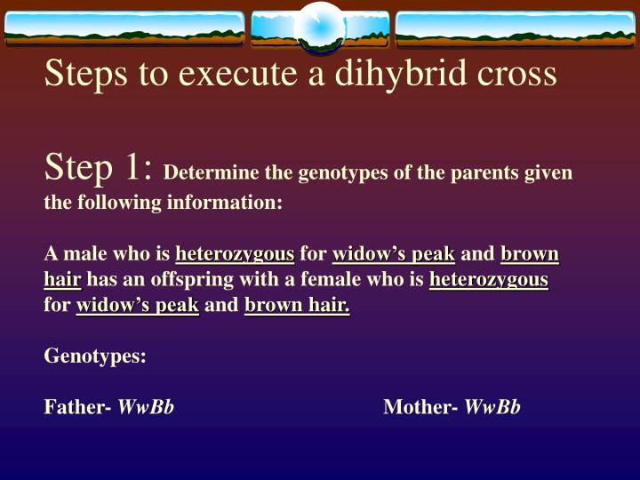 Steps to execute a dihybrid cross