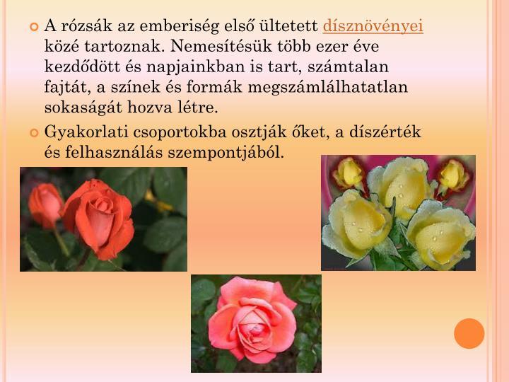 A rózsák az emberiség első ültetett