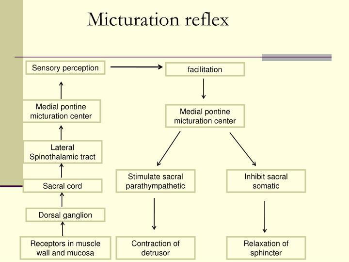 Micturation reflex