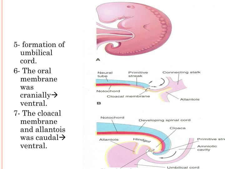 5- formation of umbilical cord.