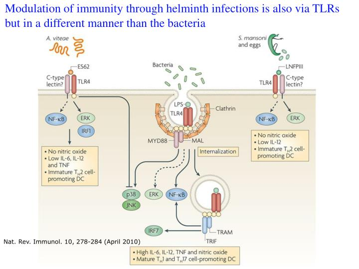 Modulation of immunity through helminth infections is also via TLRs