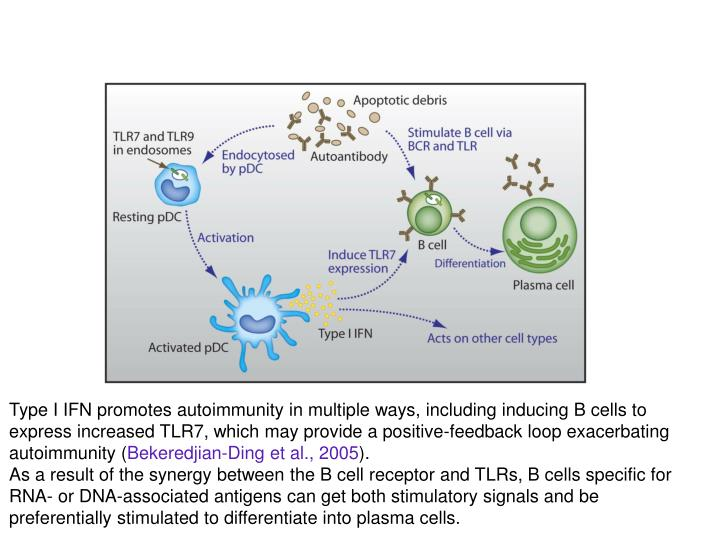 Type I IFN promotes autoimmunity in multiple ways, including inducing B cells to express increased TLR7, which may provide a positive-feedback loop exacerbating autoimmunity (